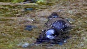 Sello o león marino de California almacen de video