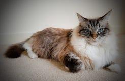 Sello pedigrí del gato atigrado del lince de Ragdoll mitted Foto de archivo