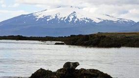 Sello que descansa delante del volcán de Snæfellsjökull en Islandia Fotos de archivo libres de regalías