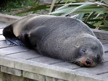 Sello que duerme en el paseo marítimo, Nueva Zelanda Fotografía de archivo libre de regalías