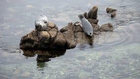 Sello que se tira para arriba en la roca Monterey California metrajes