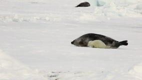 Sello recién nacido cerca de la madre en el mar blanco del hielo en Rusia almacen de metraje de vídeo