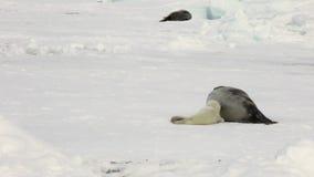 Sello recién nacido cerca de la madre en el mar blanco del hielo en Rusia almacen de video