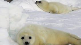 Sello recién nacido dos en el mar blanco del hielo en Rusia metrajes
