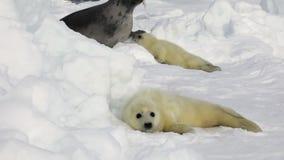 Sello recién nacido lindo dos cerca de la madre en el mar blanco del hielo en Rusia almacen de video