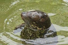 Sello Smirking en el agua fotografía de archivo libre de regalías
