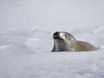 Sello y nieve Foto de archivo libre de regalías