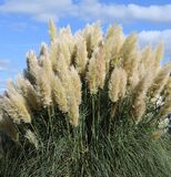 Selloana de Cortaderia d'herbe des pampas Photo stock