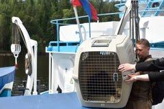 Sellos anillados lanzados zoologistas de Ladoga después de la rehabilitación Fotografía de archivo