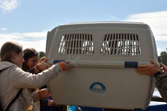 Sellos anillados lanzados zoologistas de Ladoga después de la rehabilitación Fotografía de archivo libre de regalías