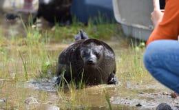 Sellos anillados lanzados zoologistas de Ladoga después de la rehabilitación Imágenes de archivo libres de regalías