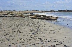 Sellos comunes y sellos grises en la playa de Helgoland Fotos de archivo