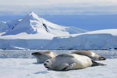 Sellos de Crabeater en la masa de hielo flotante de hielo, península antártica Foto de archivo