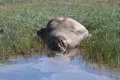 Sellos de elefante en Ano Nuevo Fotos de archivo libres de regalías