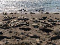 Sellos de elefante en la playa Fotografía de archivo libre de regalías