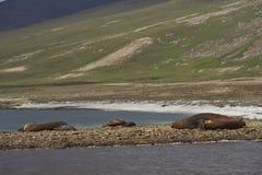 Sellos de elefante meridionales en la isla de Saunders Foto de archivo libre de regalías
