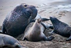 Sellos de elefante septentrionales foto de archivo libre de regalías