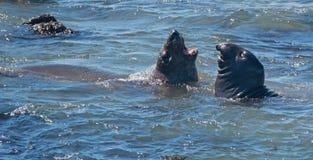 Sellos de elefante septentrionales que luchan en el Pacífico en la colonia de grajos del sello de elefante de Piedras Blancas en  foto de archivo libre de regalías