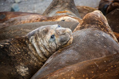 Sellos de elefante todos junto que mudan su piel en la Antártida Foto de archivo libre de regalías