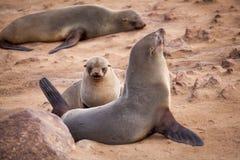 Sellos de los leones marinos, Otariinae con los perritos foto de archivo