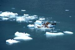 Sellos de puerto en masa de hielo flotante de hielo Foto de archivo libre de regalías