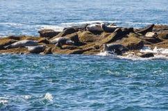 Sellos de puerto en una isla rocosa Foto de archivo libre de regalías