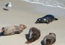 Sellos de puerto pacíficos en la playa Fotos de archivo libres de regalías