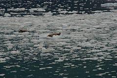 Sellos de puerto que descansan sobre masas de hielo flotante de hielo Fotografía de archivo