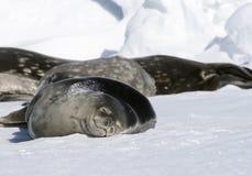Sellos de Weddell (weddellii de Leptonychotes) Fotografía de archivo libre de regalías