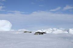 Sellos de Weddell (weddellii de Leptonychotes) Foto de archivo