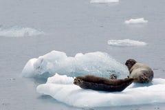 Sellos en el hielo Fotos de archivo libres de regalías