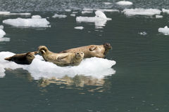 Sellos en el iceberg Imagen de archivo libre de regalías