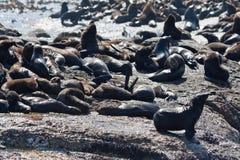 Sellos en la bahía Ciudad del Cabo de Hout Imagenes de archivo
