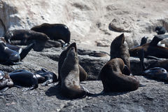 Sellos en la bahía Ciudad del Cabo de Hout Fotografía de archivo