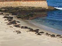 Sellos en la playa Imagenes de archivo