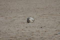 Sellos en la playa Fotografía de archivo