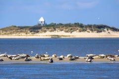 Sellos en un banco de arena en el mar de wadden Foto de archivo