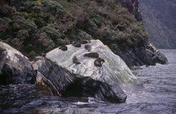 Sellos en una roca en Milford Sound Fotografía de archivo