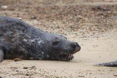 Sellos grises en la playa Foto de archivo libre de regalías