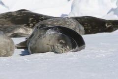 Sellos que duermen en el hielo Fotografía de archivo libre de regalías