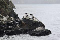 Sellos que se relajan en la roca del sello Fotografía de archivo libre de regalías