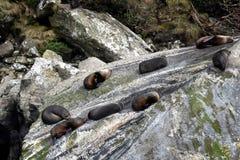 Sellos que se relajan en la roca del sello Imagenes de archivo