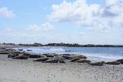 Sellos y sellos grises en la playa de Helgoland, Mar del Norte Imagen de archivo libre de regalías