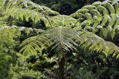Sellowiana do Dicksonia, a grande samambaia dos Americas imagens de stock