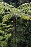 Sellowiana do Dicksonia, a grande samambaia dos Americas imagem de stock royalty free
