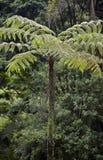 Sellowiana do Dicksonia, a grande samambaia dos Americas fotos de stock