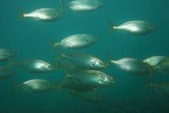Selma porgy fish stock images