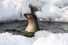 Selo bonito na água no dia ensolarado no inverno, Imagem de Stock