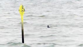 Selo cinzento, halichoerus grypus, com a cabeça acima da água entre as ondas da costa holandesa perto de Haia video estoque