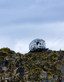 Selo cinzento nas ilhas do farne Imagem de Stock Royalty Free